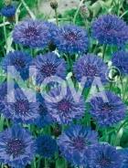 Centaurea o fiordaliso blu N1508099