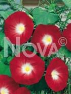Ipomea grandiflora rossa N1508478