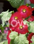 Altea o malvone semplice rosso N1510068