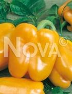 Peperone giallo golden calwonder N1700794