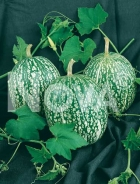 Cucurbita ficifolia - Zucca siamese N1700973