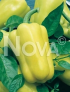 Peperone goccia d'oro N1701989