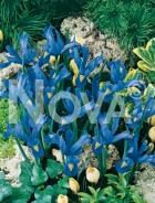 Iris hollandica blu-giallo N1900037