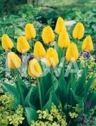 Tulipano darwin hybrid giallo N1900100