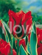 Tulipano viridiflora rosso N1900142