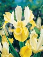 Iris hollandica giallo-bianco N1900170