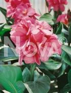 Canna indica rosa N1900346