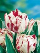 Tulipano doppio bianco-rosso N1900371