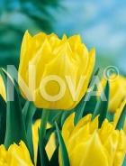 Tulipano doppio giallo N1900396