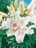 Lilium orientale bianco N1900437