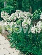 Agapanthus bianco N1900476