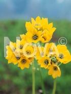 Ornithogalum giallo N1900574