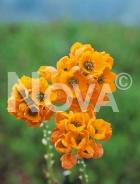 Ornithogalum arancio N1900575