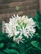 Agapanthus bianco N1900670