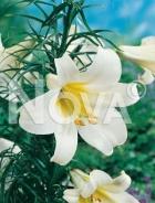 Lilium trumpet bianco N1900914