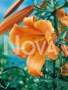 Lilium trumpet arancio N1900916
