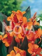Canna indica arancio N1900923