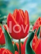 Tulipano triumph arancio N1900975
