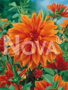 Dahlia decorativa arancio N1900984