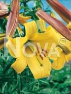 Lilium trumpet giallo N1901001