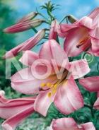 Lilium trumpet rosa N1901002