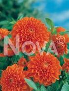 Dahlia decorativa arancio N1901096