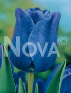 Tulipano semplice blu N1901179
