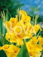 Canna indica gialla N1901300