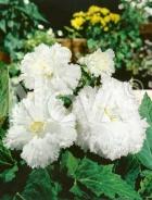 Begonia fimbriata bianca N1901312