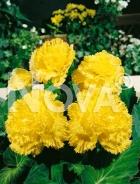 Begonia fimbriata gialla N1901314