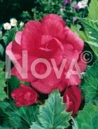 Begonia doppia rosa N1901318