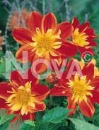 Dahlia collaretto arancio N1901365