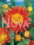 Dahlia decorativa arancio N1901425