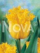 Tulipano crispa giallo N1901585