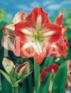 Amaryllis striato N1901827