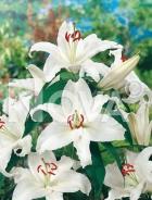 Lilium orientale bianco N1901852