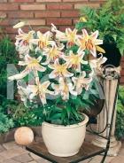 Lilium nano bianco N1901853