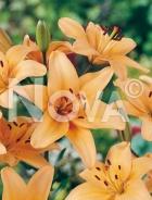 Lilium asiatico arancio N1901874