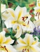 Lilium orientale bianco N1901906