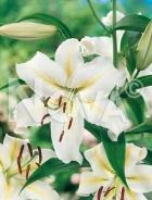 Lilium orientale bianco N1901931