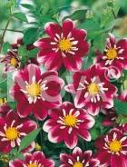 Dahlia collaretto rosa N1901964