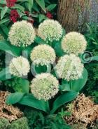 Allium karataviense N1901970