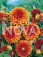 Dahlia pompon arancio N1902033