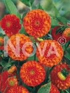 Dahlia pompon arancio N1902081