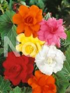 Begonia semplice mix N1902098