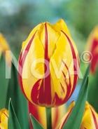 Tulipano semplice giallo-rosso N1902172
