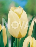 Tulipano triumph giallo N1902248
