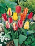Tulipano greigii miscuglio N1902273