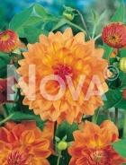 Dahlia decorativa arancio N1902509