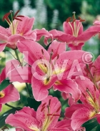 Lilium orientale rosa N1902605